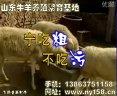 小尾寒羊养殖技术(一)