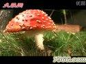 伞形毒蘑菇的生长过程