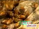 蜜蜂病敌害防治 (1770播放)