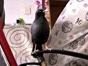 八哥鸟小黑子说话视频