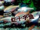 灯鱼脂鲤科红十字鱼热带鱼观赏鱼繁殖技术洄水王老师视频