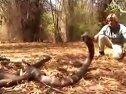据说是世界上最大的眼镜王蛇视频