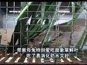 甜象草鲜叶在养殖肉兔和黑豚中的应用实录视频