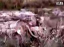 蜜獾大战狮群