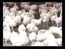 养鸡技术视频养鸡技术大全