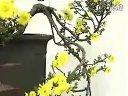 家庭如何种花和养花17-菊花实用栽培技术2视频