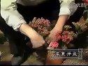 家庭如何种花和养花38-室内观赏花卉1视频