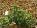 食用玫瑰种植与初加工技术中国玫瑰之乡:906444799视频