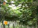 陕西农林卫视-红色强壮的蘑菇新型致富种植蘑菇-思壮赤菇视频