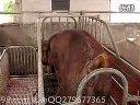 高效速成养猪技术系列03_养猪技术视频_科学养猪技术