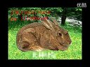 山东蓝天兔子畜牧养殖技术品种加盟客户