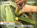 火龙果种植火龙果种植技术种植技术视频