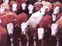 养牛生产第一讲山东长顺牧业长顺大型养殖场视频