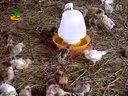 养鸡致富与鸡病防治诊断-养鸡技术视频07