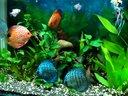 我的七彩神仙鱼草缸混养视频