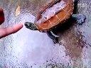 很有灵性的草龟视频