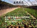 荷花的种植方法 荷花的种植技术 荷花栽培资料 水生植物栽培 (720播放)