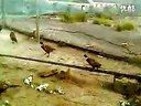 原生态野山鸡养殖