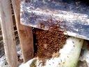 中蜂诱蜂成功全过程视频