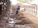 山东富万家牛养殖场肉牛直线育肥技术视频