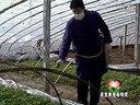 温室大棚辣椒种植技术(1)视频