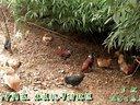 彝良县首家生态鸡养殖、专卖店(自然庄虫草生态鸡)宣传片