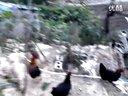 凉山放养鸡2