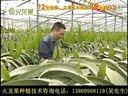 福建火龙果种植合适福建的火龙果种植技术视频