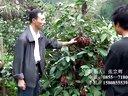 菠萝葡萄布福娜布福蔓种植发源地