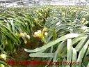 火龙果种植技术火龙果种植技术视频火龙果种植火龙果种植方法