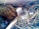 养鸟的历程3视频