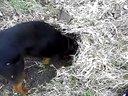 火友的莱州红和格力犬打猎视频