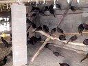 2013年苍山兰陵珍禽养殖孵化场视频