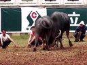 2012年火把节本地牛甲级和小野水牛。泸西斗牛群296489755视频