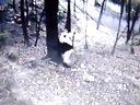 地震发生时,碧峰峡景区内大熊猫的状态
