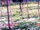 斗鸡臣仕林场从小养大的土鸡群