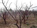 给冬枣树喷第一遍农药视频