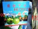 莱西甜瓜(秘宝王)香瓜种植