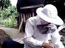 蜜蜂分王台(中华蜜蜂、中蜂)视频