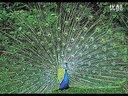 孔雀188金宝博官方直营网孔雀养殖视频孔雀养殖