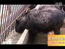 肉羊养殖场波尔山羊养殖技术之黑山羊养殖视频
