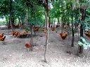 安徽兴牧畜禽有限公司森林散放鸡原生态放养鸡优质土鸡