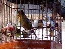 民和麻料鸟(鸟王)视频