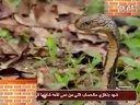 眼镜王蛇视频
