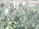 林口县柳树镇柞木林场《树莓亩种植一年顶十年》201391木梓视频