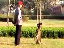马犬虎子训练视频