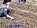 核桃苗种植技术视频