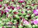 《金色田野》第67期玫瑰花开幸福来选好麦种保丰收视频