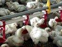 肉鸡料线、养鸡水线料线,看下100米长,16米宽的超级养鸡大棚