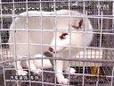 狐狸养殖技术视频